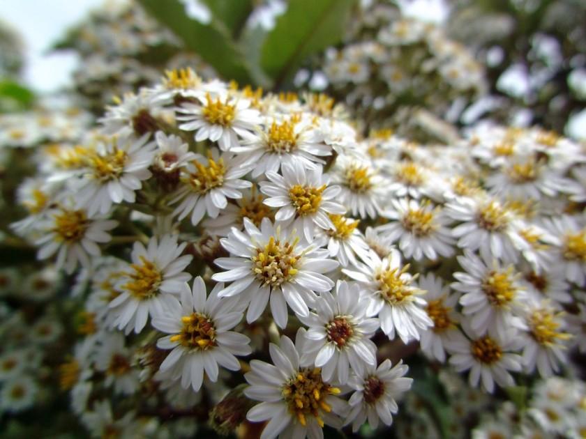 oleariamac_flowersJune2018